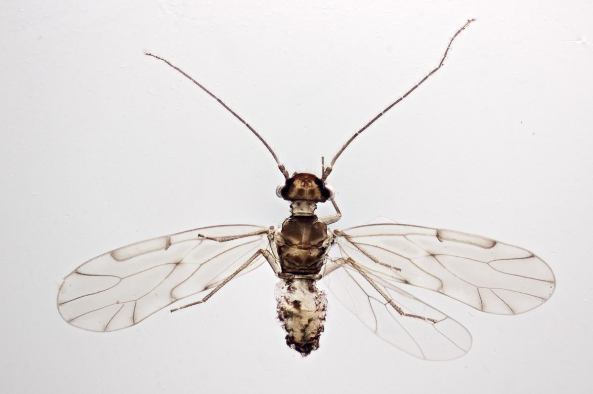 Esemplare maschile di Ectopsocus Briggsi